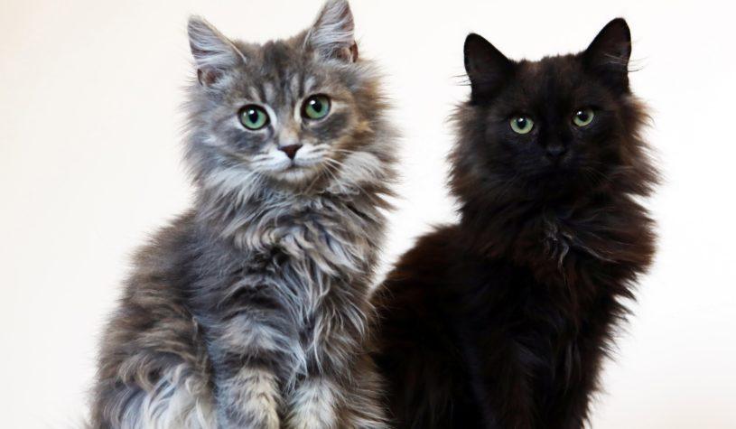 Котята Антошка и Тимошка. Два пушистых красавца нашли свой дом