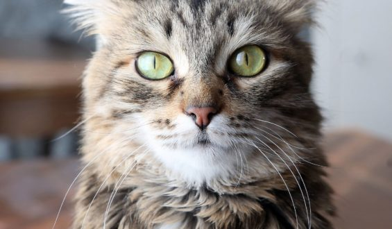 Леся домашняя кошка