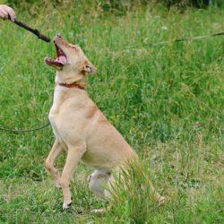 Собака Пщеница