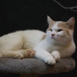 Кошка Корса
