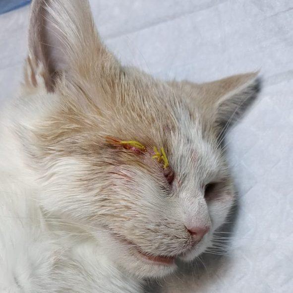 Новости с полей: Корсе удалили глаз