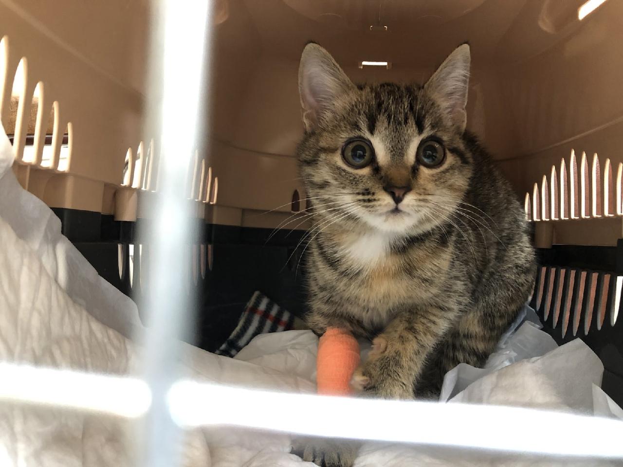 Котенок Мико заболела кальцивирозом